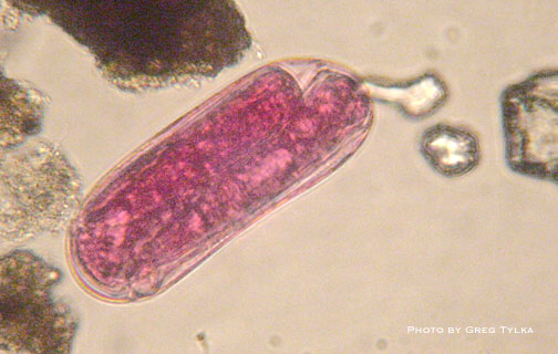 Soybean cyst nematode egg