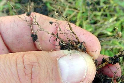 Soybean cyst nematode females on roots
