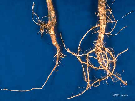 Sudden death syndrome root rot