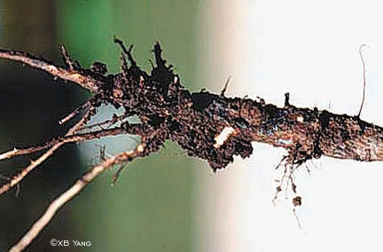 Soybean sudden death syndrome - roots