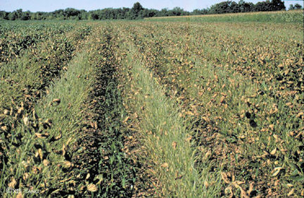 Field with severe sudden death syndrome damage