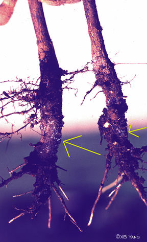 Root with sudden death syndrome (SDS) fungi