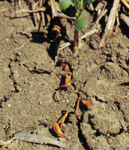 Seed rot by Phytophthora