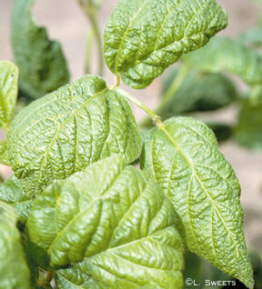 Foliar symptoms of soybean mosaic virus