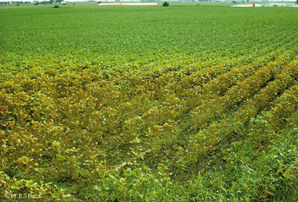Mite damage to soybean field