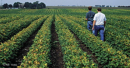 Soybean field with top dieback