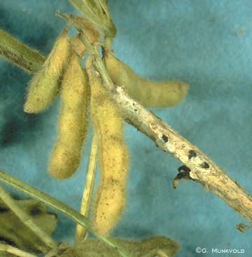 White Mold on Soybean Stem