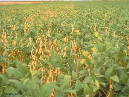 Soybeans killed by white mold