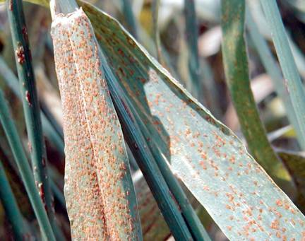 Rust symptoms on wheat