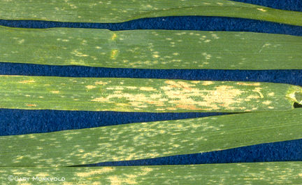 Powdery mildew on wheat leaves