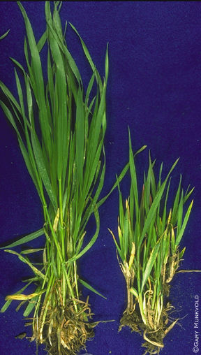 Yellow dwarf virus  - comparison with healthy wheat