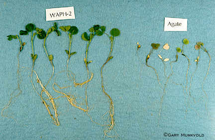 Seedlings of fungus-resistant alfalfa