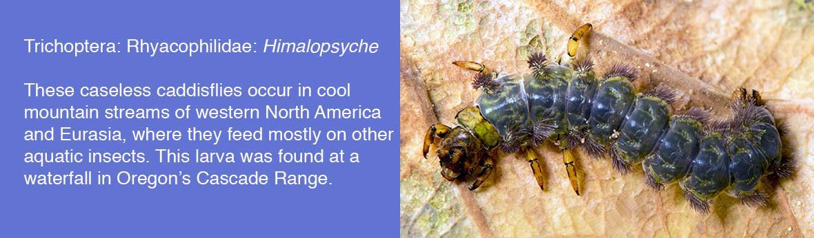 Trichoptera: Rhyacophilidae: Himalopsyche