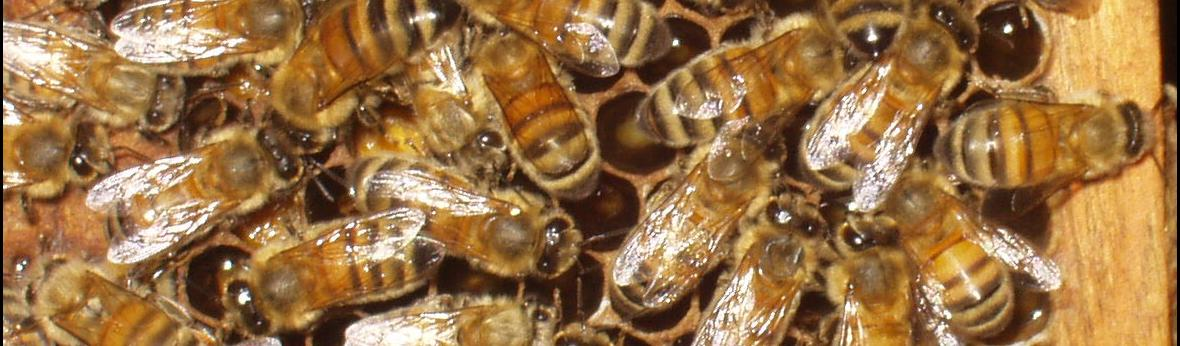 Photograph of bees in a hive
