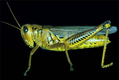 Orthopteran Dissection icon