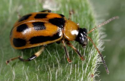 bean leaf beetle