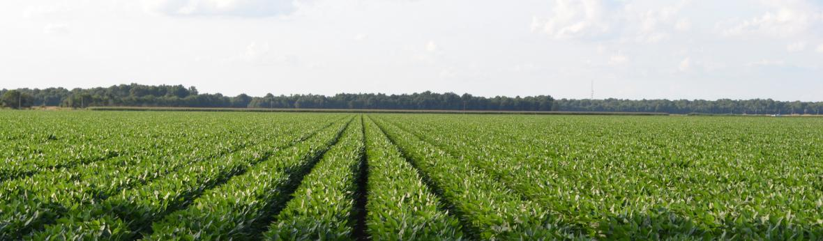 Photograph of soybean field