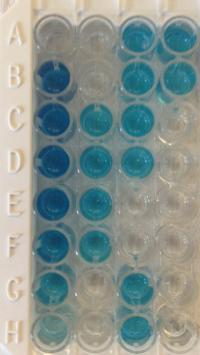 Picture of a typical ELISA plate.
