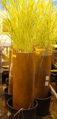 Picture of a switchgrass column typically used in a phytoremediation experiment.